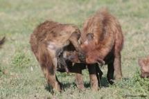 Zwei Hyänen begrüßen sich