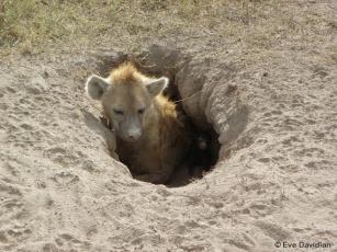 Hyänenmutter mit Neugeborenem im Geburtsbau