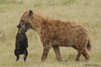 Hyänenmutter trägt ihr Junges vom Geburtsbau zum Gemeinschaftsbau