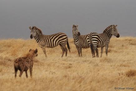 Tüpfelhyäne und Zebras im Ngorongoro-Krater
