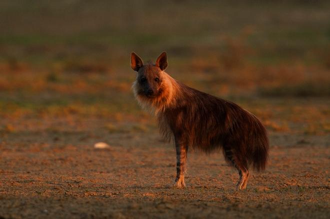 Braune Hyäne, Schabrackenhyäne oder Strandwolf (Parahyaena brunnea)
