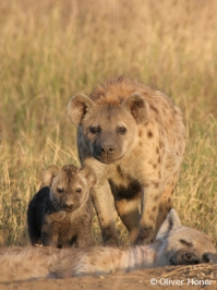Hyänenmutter mit Tocher