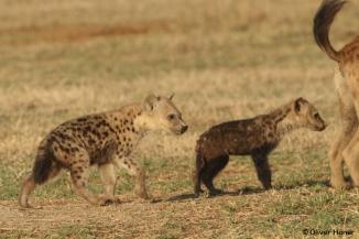 Zwei gleichaltrige Hyänenjunge