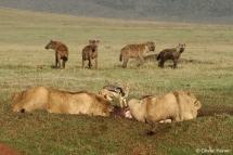 Junge Löwenmännchen und Hyänen an einem Riss