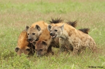 Konflikt mit Löwen