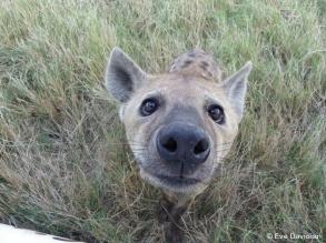 Hyäne ganz nah