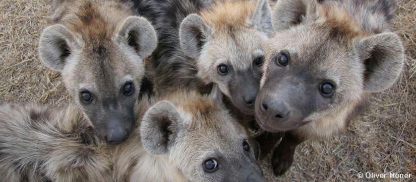 Warum haben hochrangige Hyänenmännchen bei den Weibchen die bestenChancen?