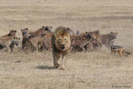 Löwen sind die größten Konkurrenten