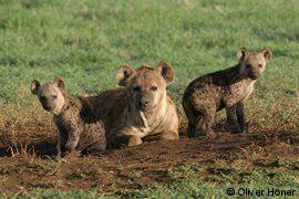 Hyänenmutter mit Zwillingen