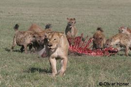 Tüpfelhyänen verteidigen Riss gegen Löwin