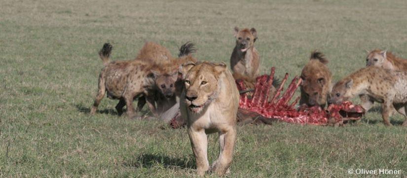 Zwist mit Löwen