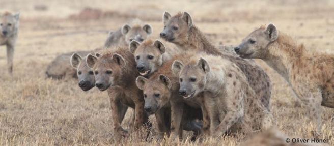 Nahverwandte Weibchen schließen sich zu Koalitionen zusammen