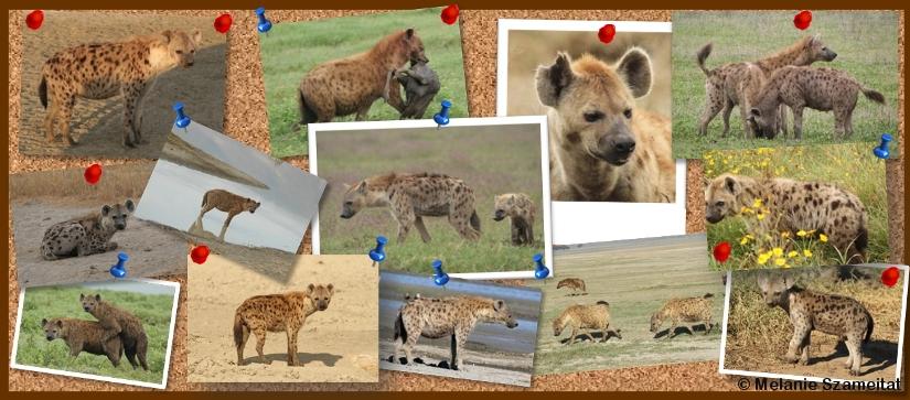 Hyänen-Sichtungen melden