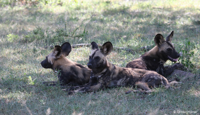 African wild dogs resting