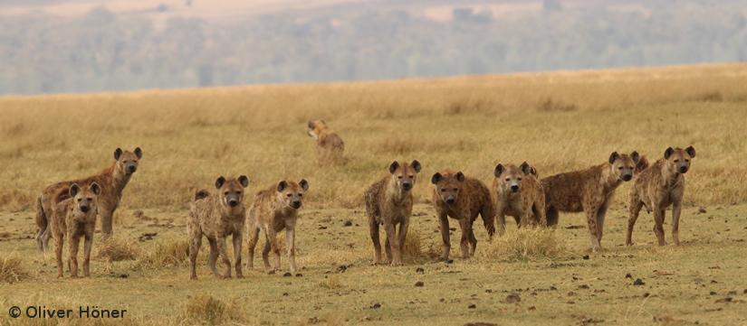 Macht ohne Muskeln: Warum bei Hyänen die Frauendominieren